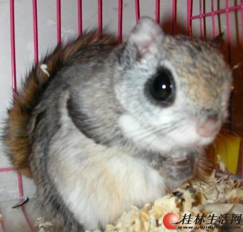 出售一只自己饲养日本小飞鼠