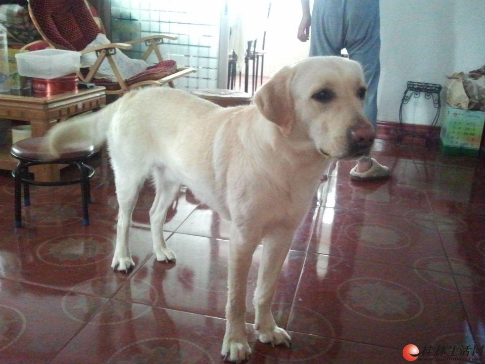 1岁半的公拉布拉多犬配种