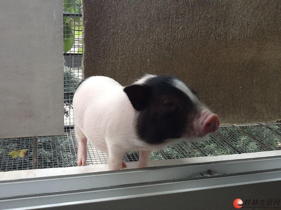 出售超可爱长不大的小香猪 爱情公寓小宠物lulu 13367737017