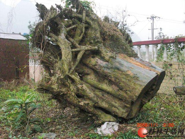 88楠木树根出售88