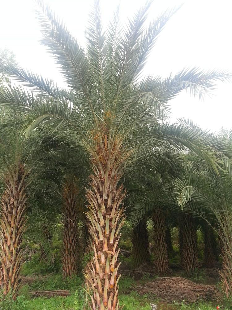 10-18公分的桂花树;中东海藻树,加纳利海藻树(杆高1-5