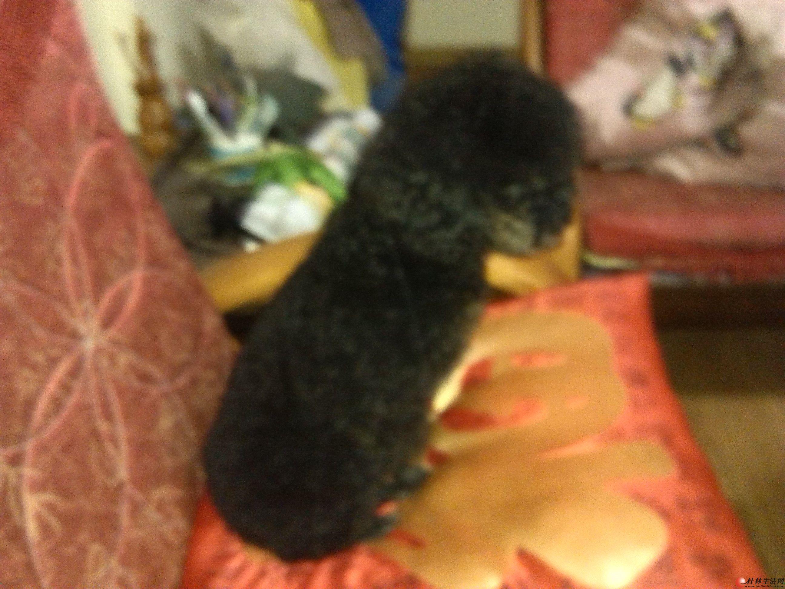 可爱小巧的母贵宾犬。
