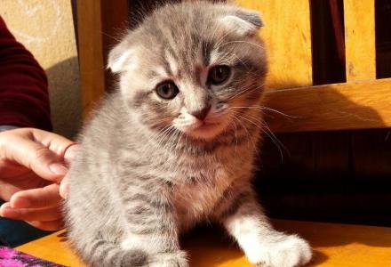 出售一只刚满月的折耳英短小猫