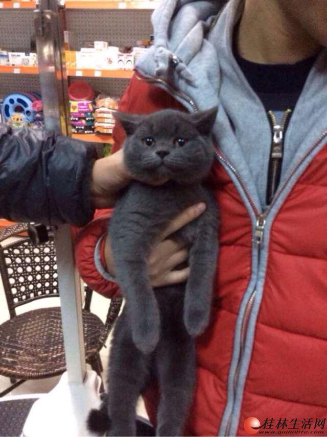 高品质蓝色英国短毛猫出售