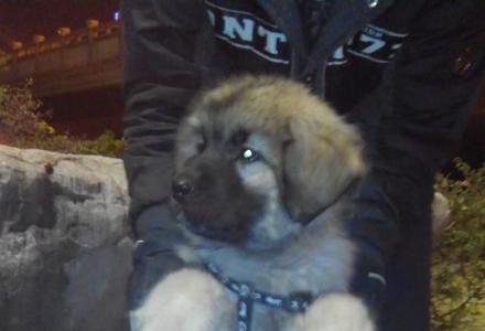 比藏獒还大个级别的狗狗,高加索犬一只,母狗。