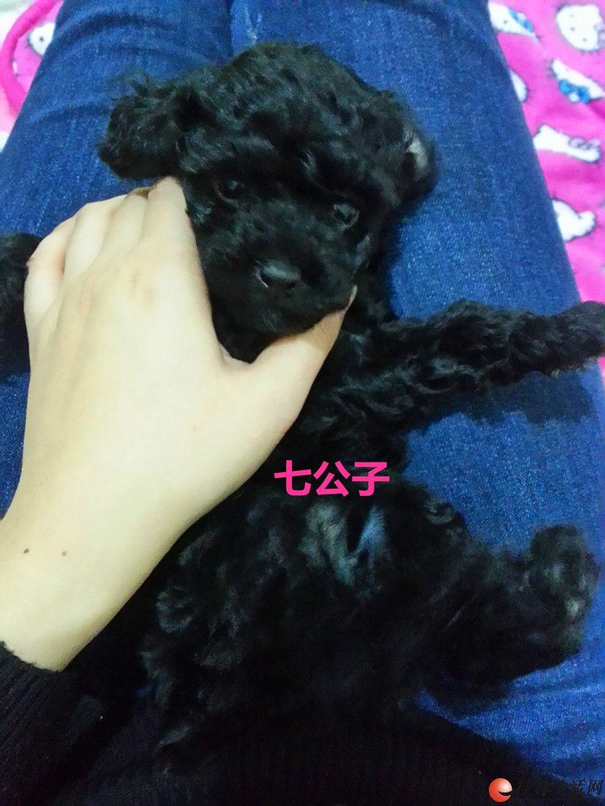 出售黑色贵宾宝宝,50天了,母狗是头胎,寻找好主人,来看看吧~~~