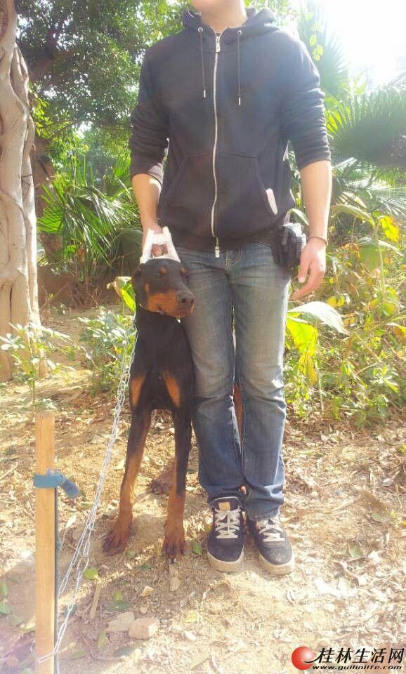 七个月德系杜宾公狗出售,狗偏瘦,骨架很大