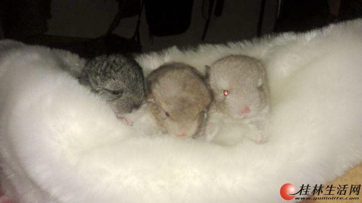 新出生的小龙猫找新家