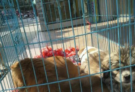 出售2个月小京巴犬串串,可以免费领养。