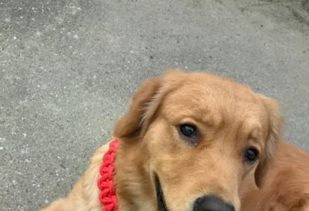 着急寻找爱犬启示,必当酬谢!!