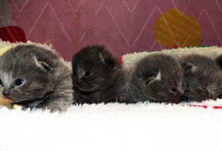 5只高品质纯种英短蓝猫接受预定