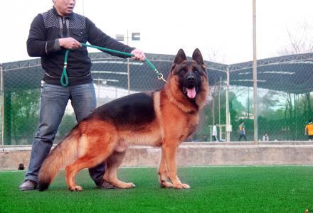 德牧配种出售幼犬及大型犬寄养