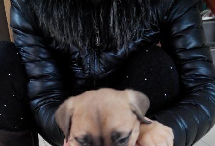 [出售] 意大利纯种卡斯罗幼犬