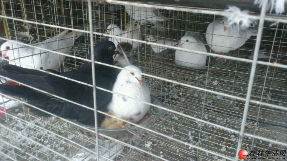 种鸽 鸽子300多对 连笼子一起处理 养殖工具齐全 价格面议 先到先得图片