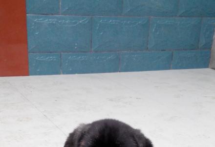 出售] 意大利纯种卡斯罗幼犬