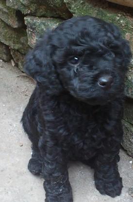 1只黑色玩具泰迪妹妹找新家,体型小,毛色亮,无杂毛