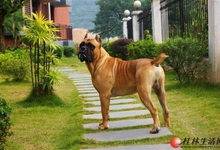 [出售] 意大利纯种卡斯罗幼犬2只