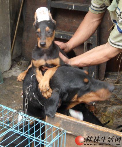 出售2个月大的杜宾幼犬宝宝