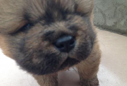 二月15日出生的松狮宝宝找新家。