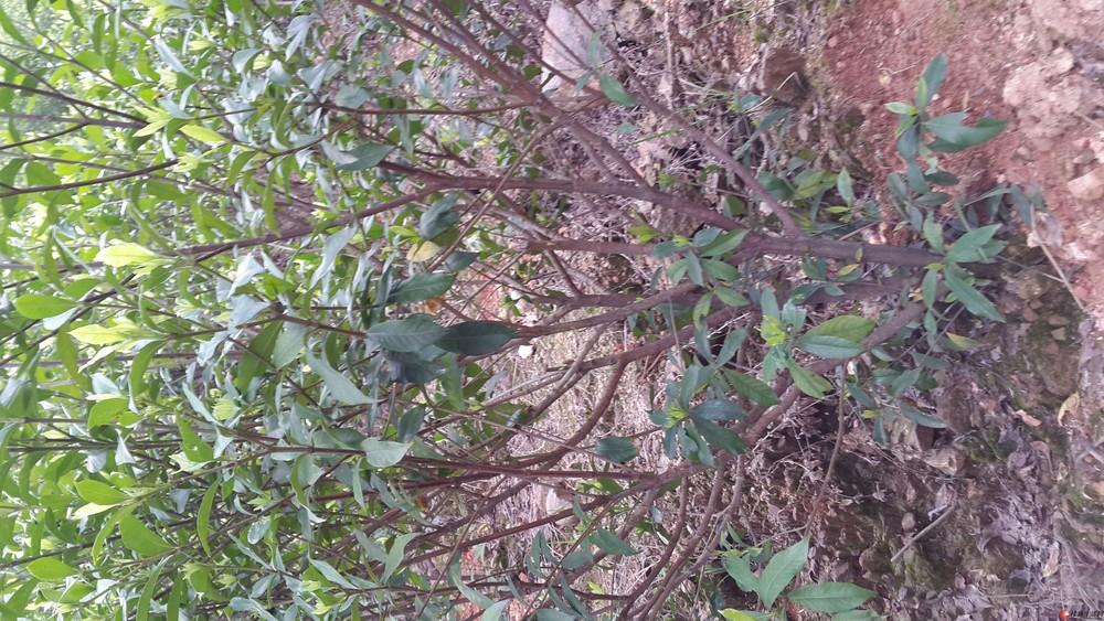 出售~~黄栀子树