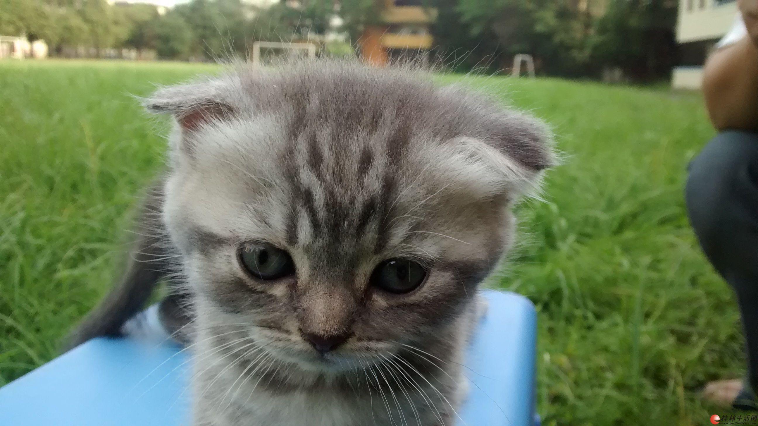 高品质纯种英国短毛猫出售