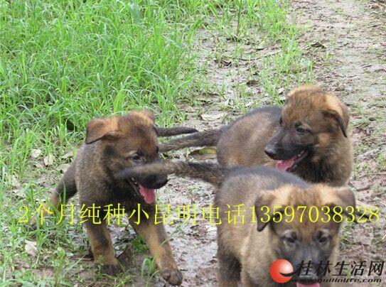 3只纯种昆明犬2个月了,有喜欢的朋友进来看看