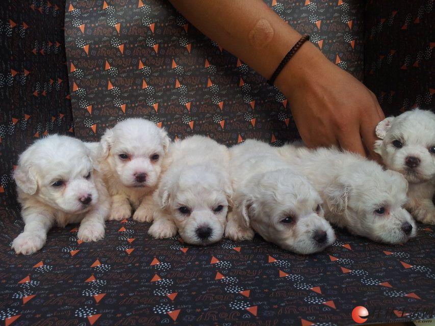 7月15日出生的6只比熊宝宝,差不多可以去新家咯