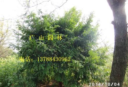 大量供应金丝楠木,美国红枫,南方红豆杉,竹柏苗、银杏苗、桂花苗等