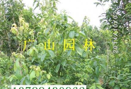 大量供应金丝楠木苗、红豆杉、桂花等苗木