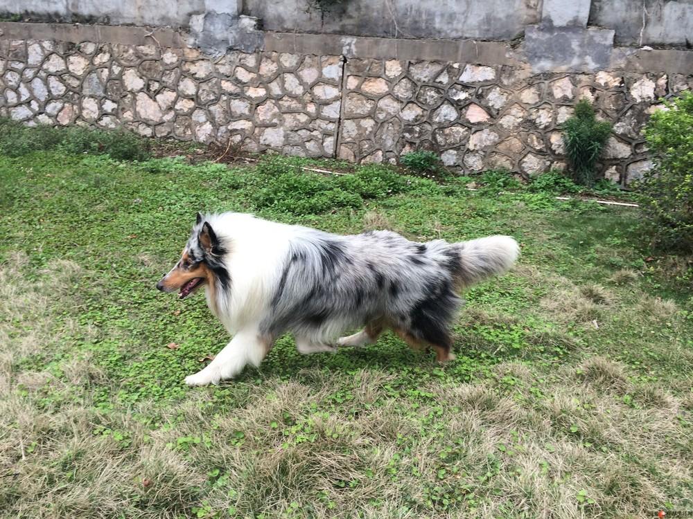 陨石苏牧种公借配或出售,另出售两条雕色苏牧母狗