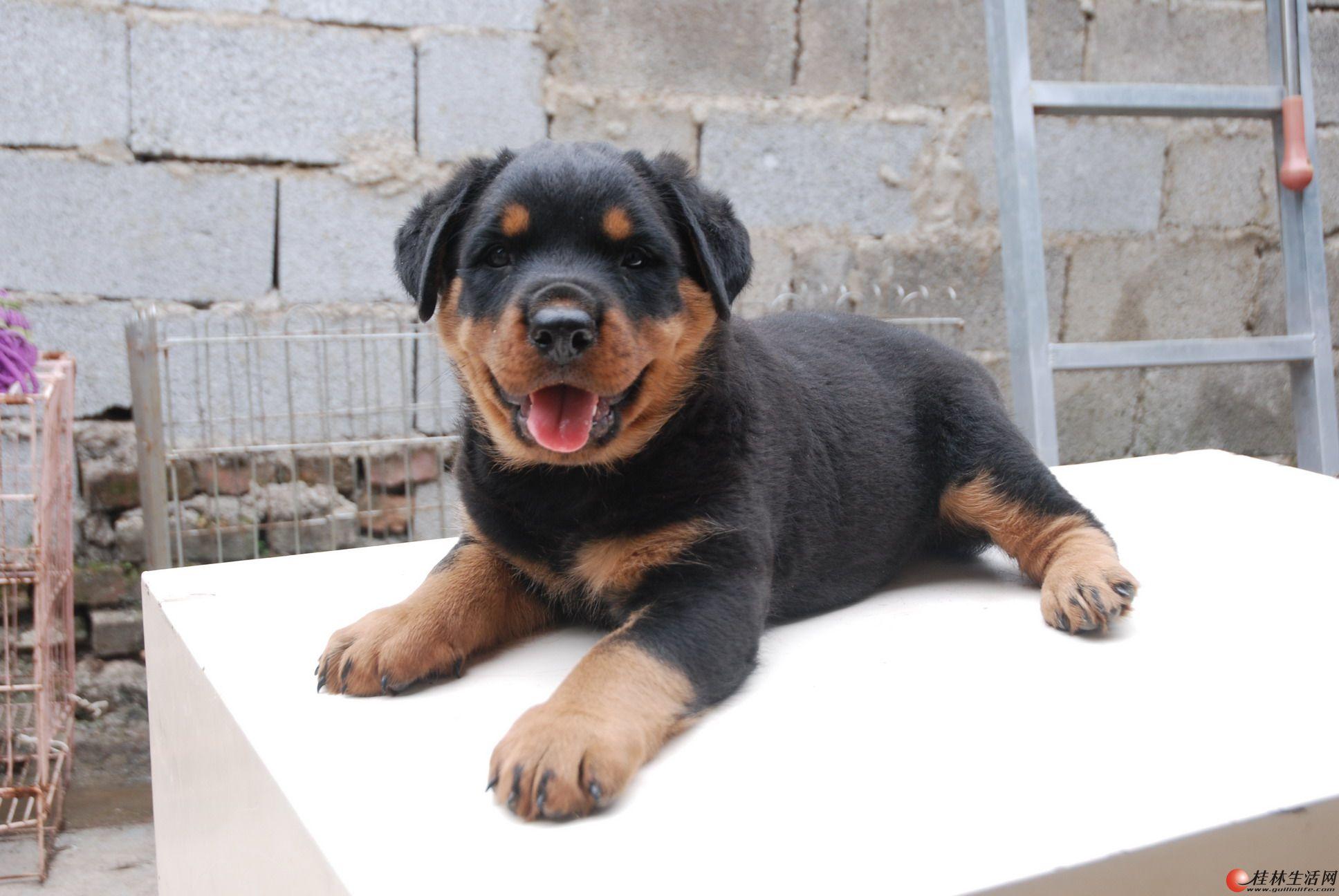罗威纳种公长期对外配种  出售罗威纳幼犬