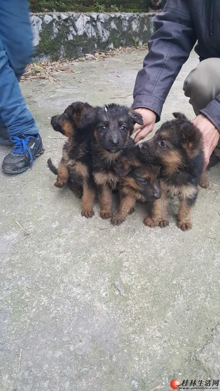处理自家德牧种公,种母,还有一窝两个月的小狗,13978380492