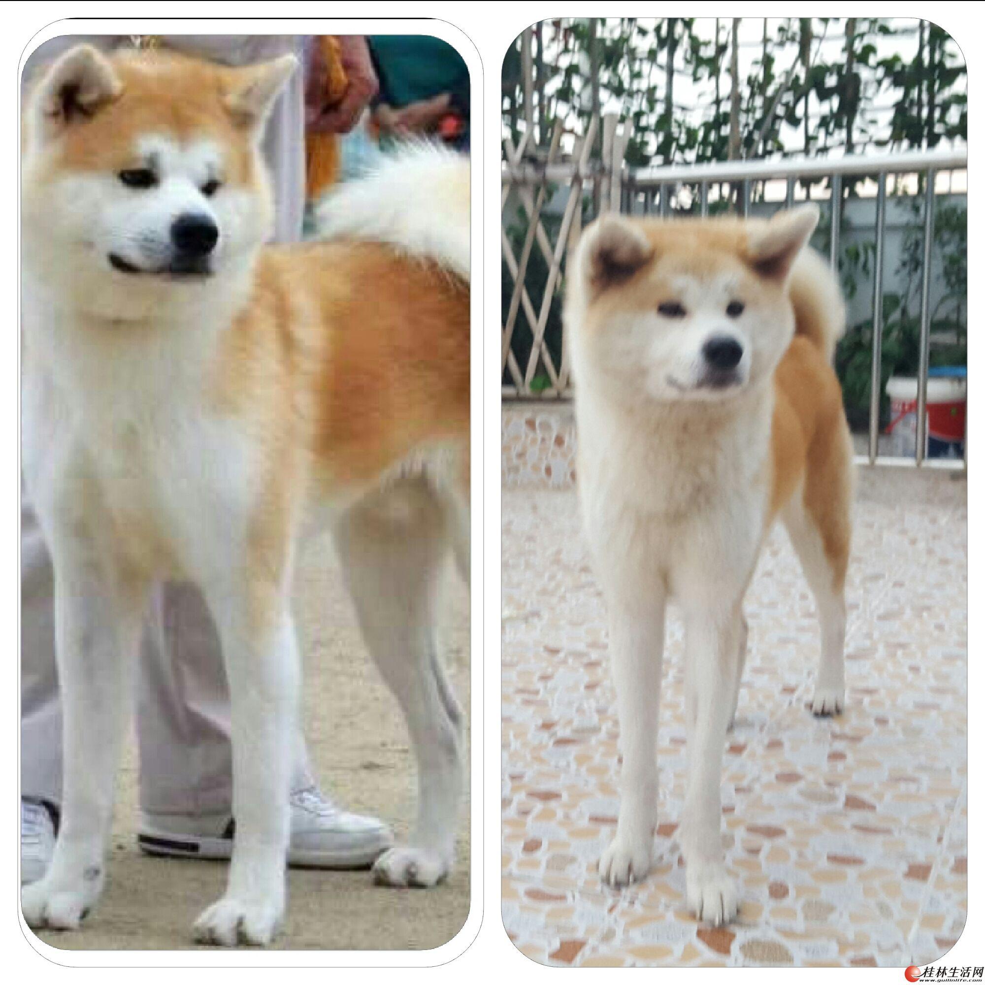 长期出售赛级秋田幼犬,成犬