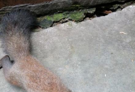 森林精灵,聪明伶俐的魔王松鼠有售了