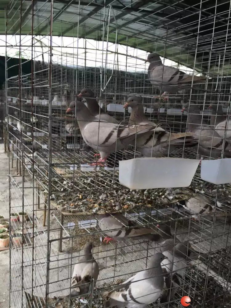 青年鸽 种鸽 鸽笼 养殖技术支持图片