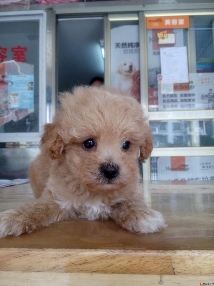 小公贵宾狗狗出售,具体见图,健康活波可爱