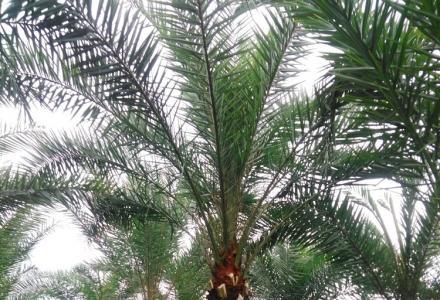 出售1-5米杆高中东海枣,加纳利海枣树,80-100公分红继木球