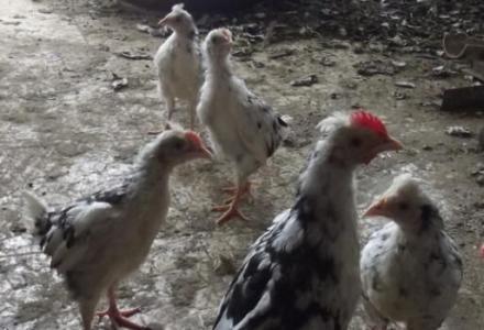 天下第一滋补鸡---贵妃鸡 鸡苗,白羽王青年鸽,种鸽(白羽王鸽)优惠出售 (桂林本地)
