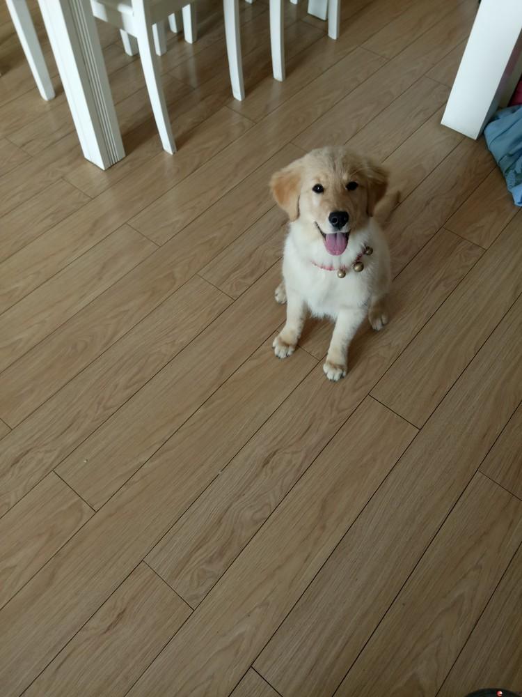 因回老家给4个月母金毛狗狗找个好主人会上厕所   1200只为找个好主人!