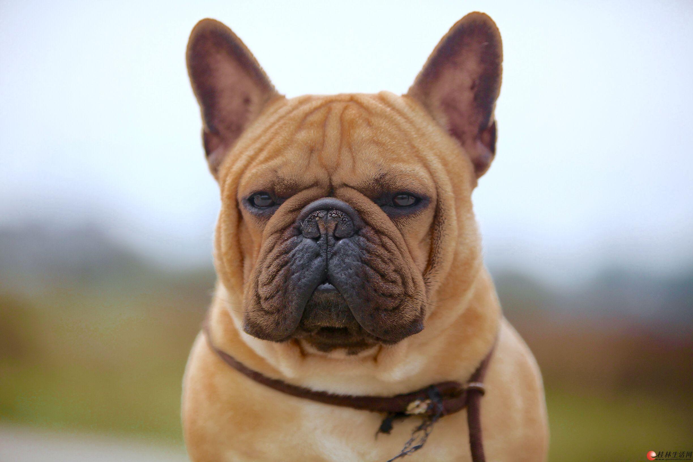 【借配】红色法国斗牛犬对外优惠借配。