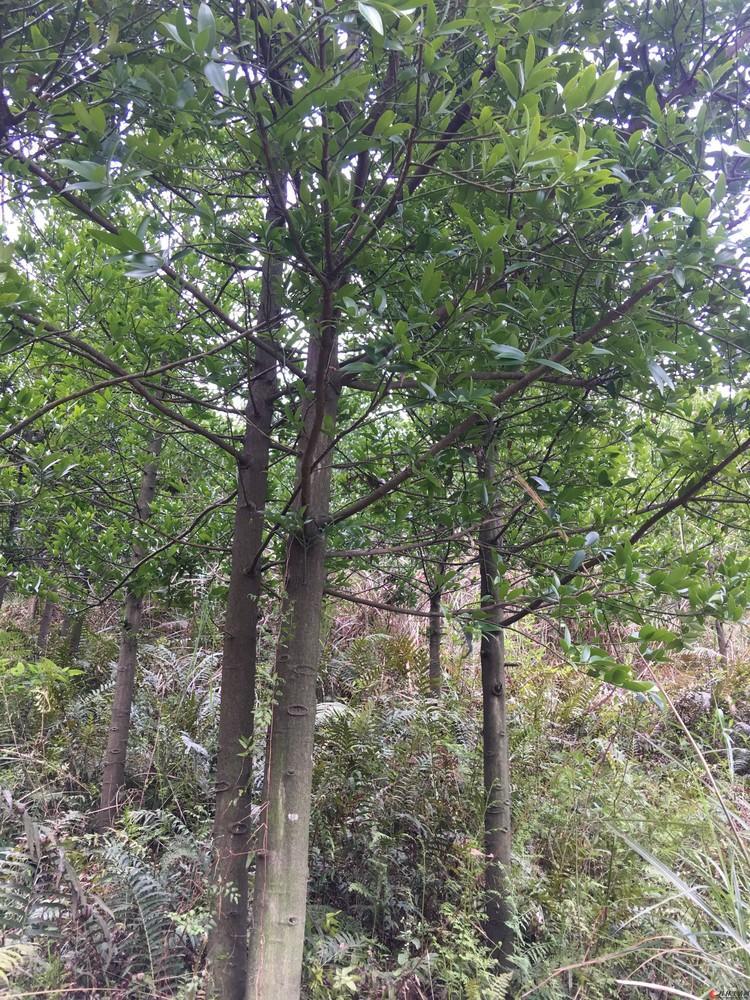 6-10公分竹柏树出售