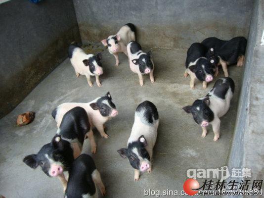 桂林市兴安县香猪养殖