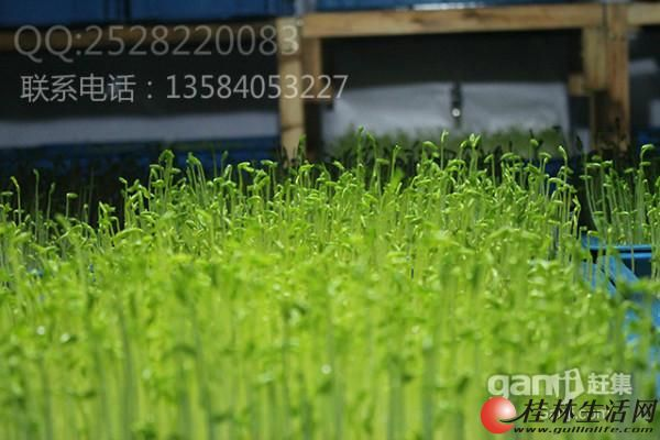 赚钱快,投资小的项目——种植有机芽苗菜