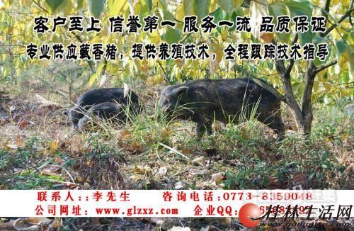 藏 香 猪 养 殖 项 目 招 商