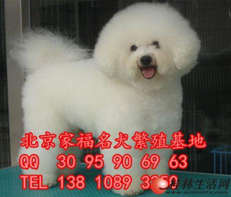 纯种白色比熊 法系卷毛比熊 北京哪有出售比熊犬的 全国免费托运