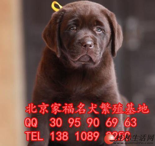 纯种拉布拉多犬多少钱 北京哪卖拉布拉多幼犬 大骨架拉布拉多