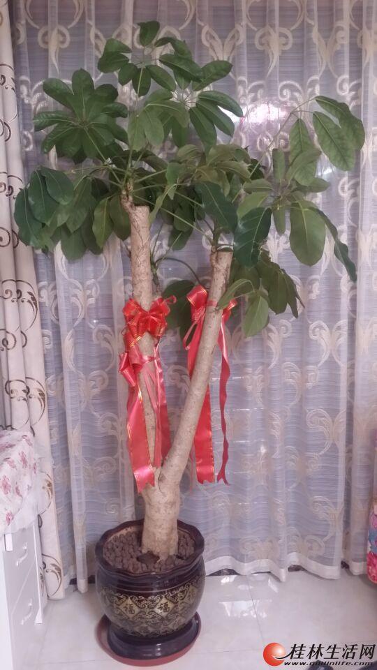 家里的发财树低价出售!