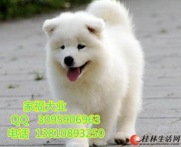 纯种萨摩耶 澳版萨摩耶 北京哪出售的萨摩耶犬有保障 全国包运