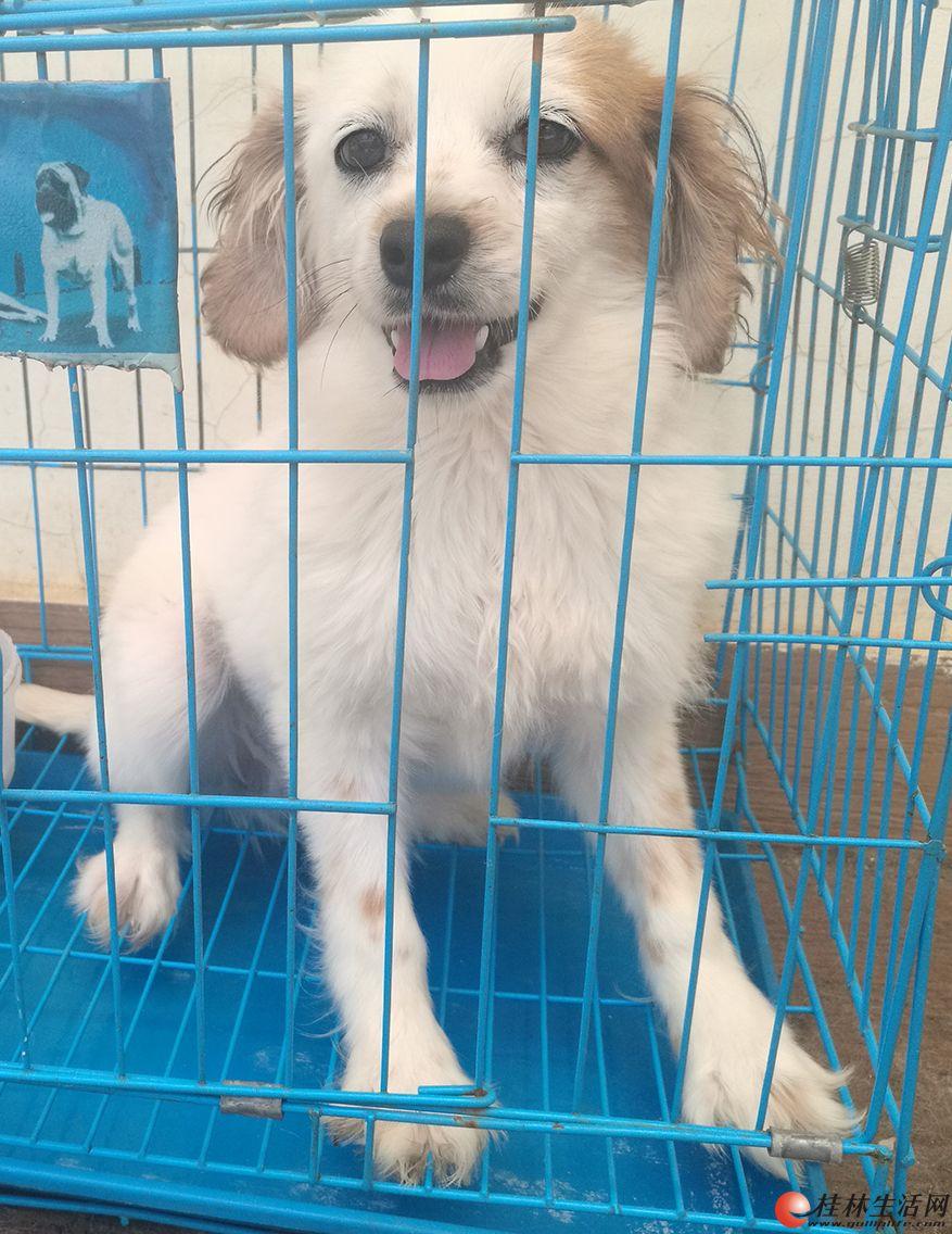 宠物狗白色友情价出售
