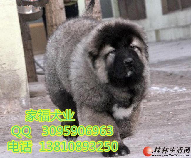 巨型高加索 纯种高加索 北京高加索幼犬多少钱一只 北京家福犬业